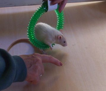 The Agile Rat - Rats Learning Tricks