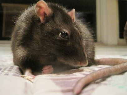 My Beautiful Rattie