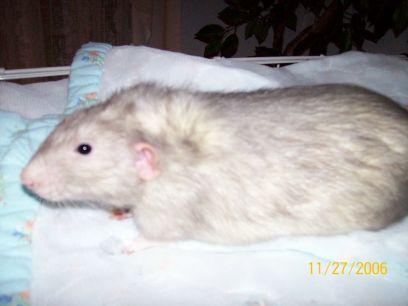 The Agile Rat - Rattie Recipes