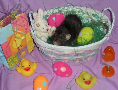 Pipkin awaits the Easter Rattie. (R.I.P.)